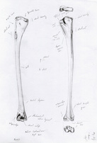 Humerus, pencil drawing for Morus serrator Project, Pencil drawing by Geoffrey Roche, Gilberd Marriott Gallery Wellington, NZ fine arts